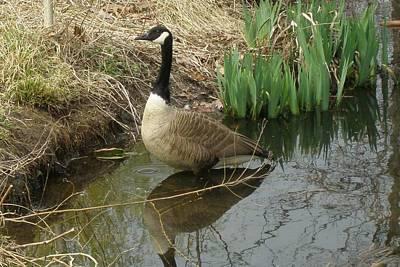 Photograph - Goose In Water by Lucinda VanVleck