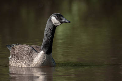 Goose On Pond Art Print