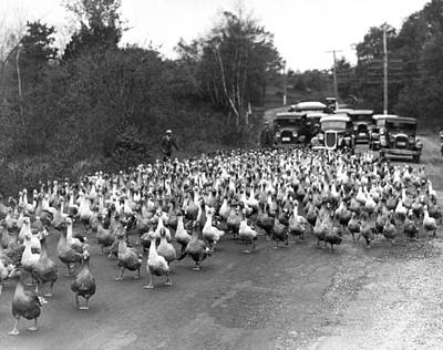 Gaggle Photograph - Goose Rush Hour On Rural Road by Underwood Archives