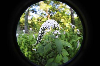 Gooseneck Loosestrife Photograph - Gooseneck With A Fisheye by Carrie Munoz