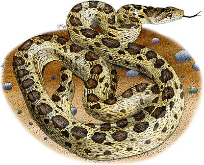 Photograph - Gopher Snake by Roger Hall