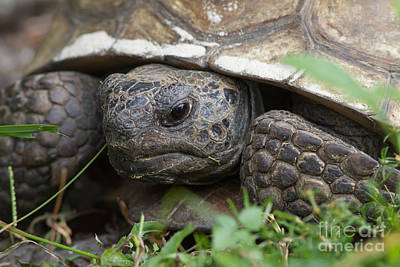 Photograph - Gopher Tortoise #1 by Paul Rebmann