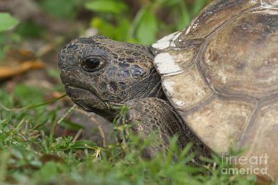 Photograph - Gopher Tortoise #2 by Paul Rebmann