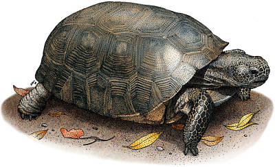 Photograph - Gopher Tortoise by Roger Hall