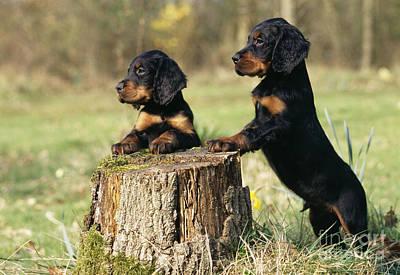 Gordon Setter Puppy Dogs Art Print by John Daniels
