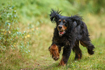 Gordon Setter Running In Grass Art Print