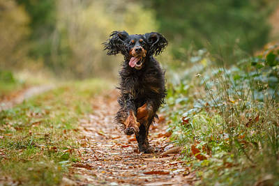 Gordon Setter Running    Art Print