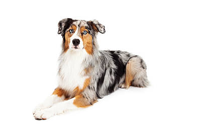 Herding Dog Photograph - Gorgeous Australian Shepherd Dog Laying by Susan Schmitz