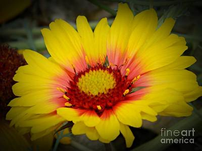 Photograph - Gorgeous Daisy by Chalet Roome-Rigdon