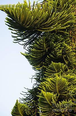 Trunks Photograph - Gorgeous Pine Branches by Deborah Smolinske