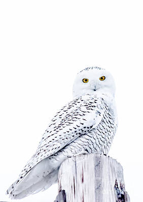 Photograph - Gorgeous Snowy Owl by Cheryl Baxter