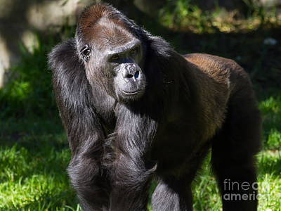 Photograph - Gorilla 7d8991 by Wingsdomain Art and Photography