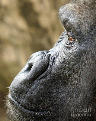 Chango Photograph - Gorilla Close Up by Rachel Munoz Striggow