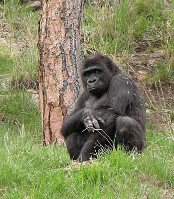 Photograph - Gorilla Contemplating by Diane Alexander