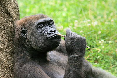 Photograph - Gorilla Deep In Thought by Angela Rath