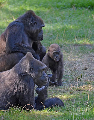 Down On The Ground Photograph - Gorilla Family Relaxing Together by Jim Fitzpatrick
