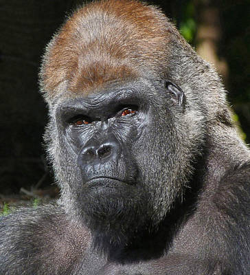 Photograph - Gorilla Gaze by Margaret Saheed