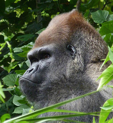 Photograph - Gorilla Group Leader Relaxing by Margaret Saheed