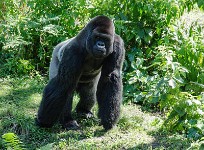 Jcook Photograph - Gorilla In The Midst by Jim Cook