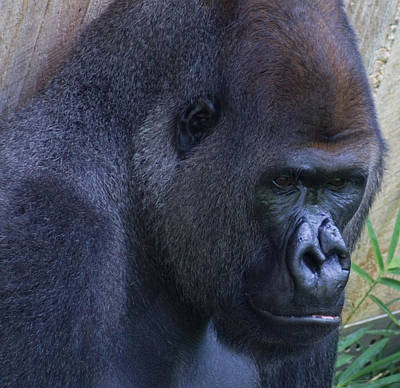 Photograph - Gorilla In Thought by Leah Palmer