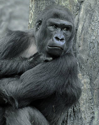 Photograph - Gorilla by Jim Vallee