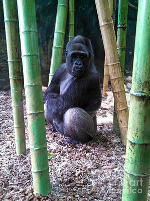 Photograph - Gorilla Lincoln Park Zoo by Gregory Dyer
