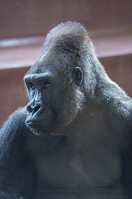 Gorilla Art Print by Phil Abrams