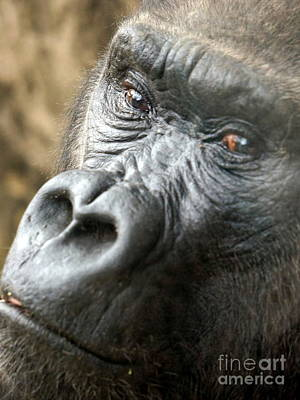 Chango Photograph - Gorilla Pic by Rachel Munoz Striggow