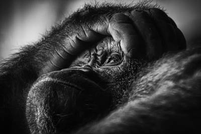 Photograph - Gorilla Portrait by Chris Boulton
