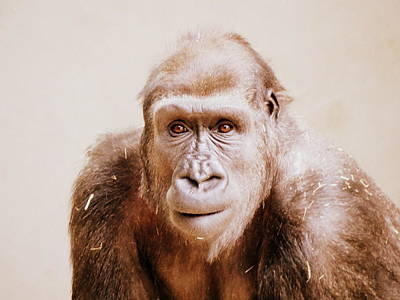 Photograph - Gorilla Portrait In Sepia by Ramona Johnston