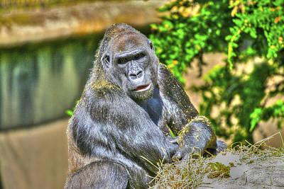 Photograph - Gorilla by SC Heffner