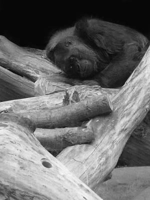 Dominating Photograph - Gorilla by Art Spectrum