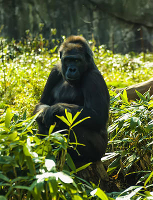 Animals Photos - Gorilla sitting on a stump by Christopher Flees