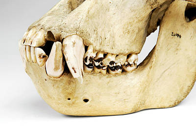 Great White Death Photograph - Gorilla Skull by Ucl, Grant Museum Of Zoology