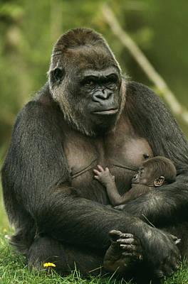 Gorilla With Baby Art Print by M. Watson