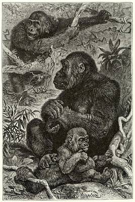 Gorilla Drawing - Gorillas At Home by Mary Evans Picture Library