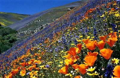 Gorman Flower Field In Full Bloom Art Print