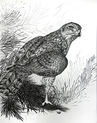 Pine Trees Drawing - Goshawk Gaze by Cara Bevan