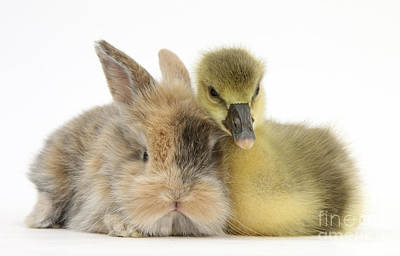House Pet Photograph - Gosling And Baby Bunny by Mark Taylor