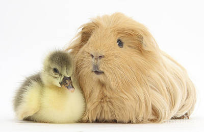 House Pet Photograph - Gosling And Guinea Pig by Mark Taylor