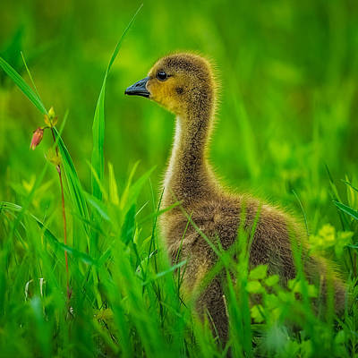 Gaggle Photograph - Gosling by Paul Freidlund