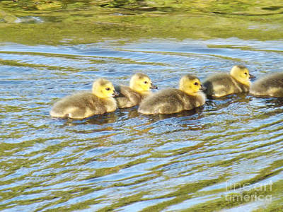 Photograph - Goslings Afternoon Swim by Brenda Brown