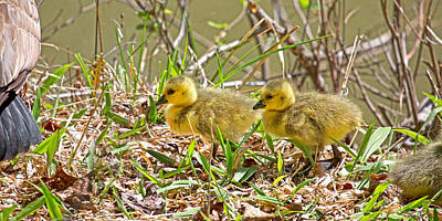 Small Forest. Beauty Photograph - Goslings by Betsy Knapp