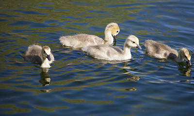 Daysray Photograph - Goslings by Fran Riley