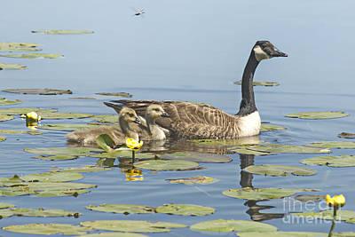 Photograph - Goslings Life At The Marsh by Andrea Kollo