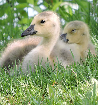 Photograph - Goslings by Peg Toliver