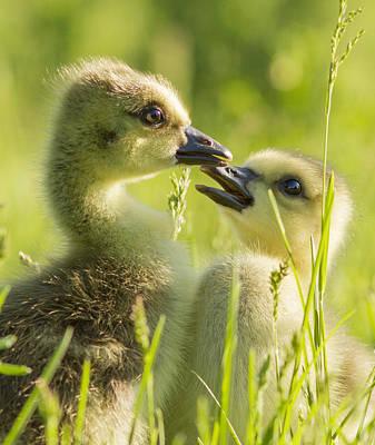 Baby Bird Photograph - Goslings Portrait by Mircea Costina Photography