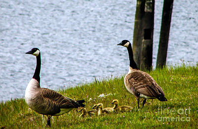Photograph - Goslings by Robert Bales