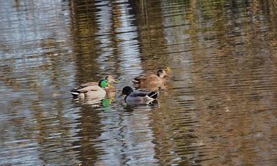 Door Locks And Handles - gossiping IMP-Mallard ducks in conversation by Leif Sohlman
