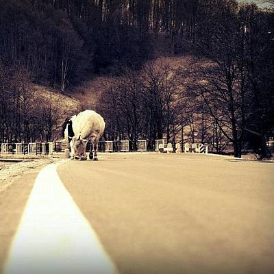 Stroke Wall Art - Photograph - Got A #stroke? #cow #road #forest by Vaivoda Vlad